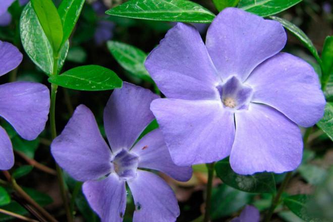 цветы барвинка