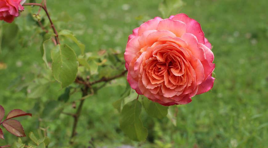 розы тантау фото