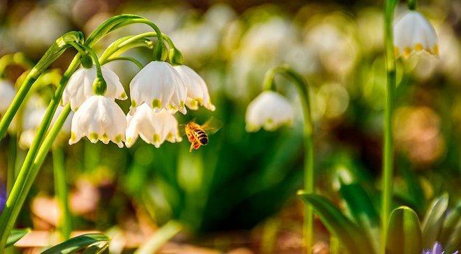Белоцветник весенний и пчела