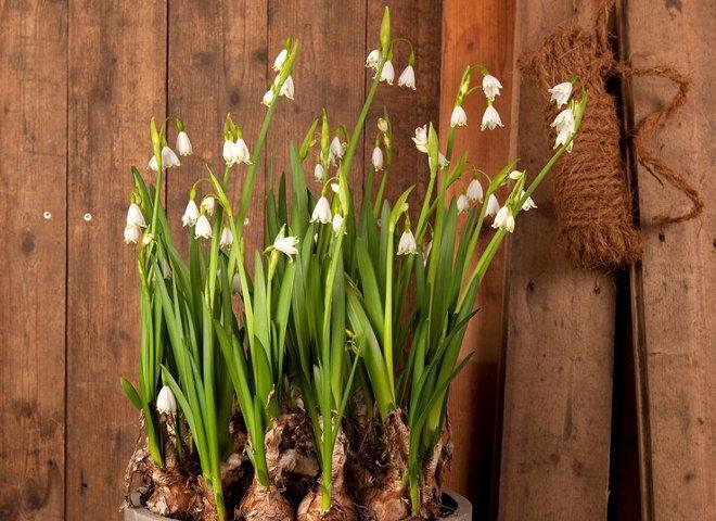 посаженные луковицы белоцветника весеннего