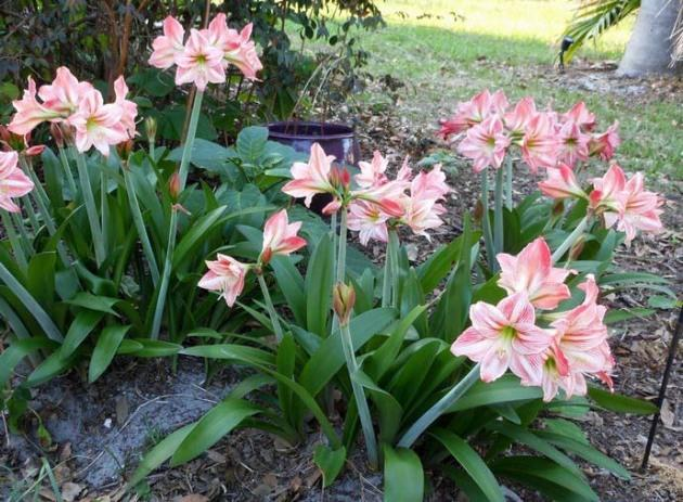 цветущий амариллис