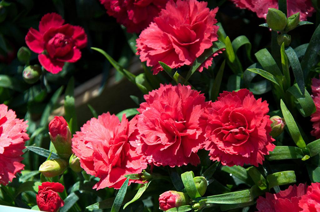 Гвоздика: описание цветка и особенности