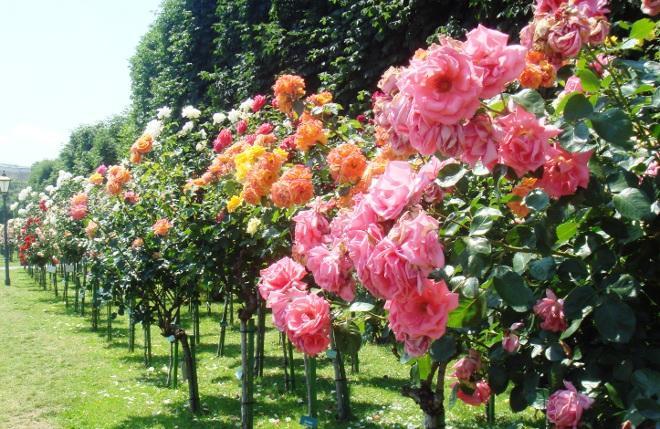 Чайно-гибридные розы в саду