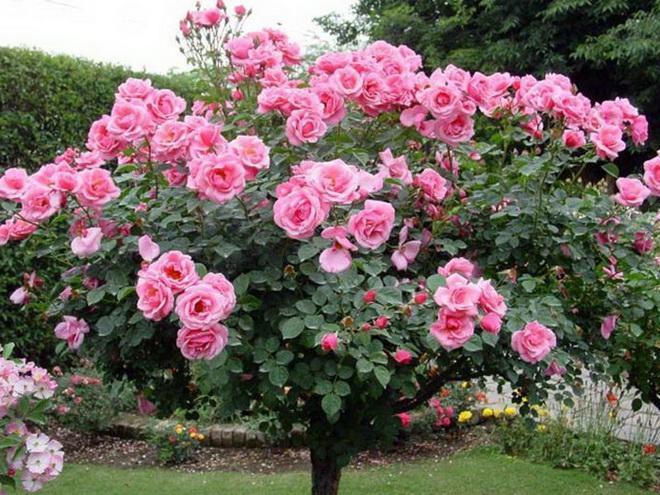 куст чайно-гибридных роз розовый