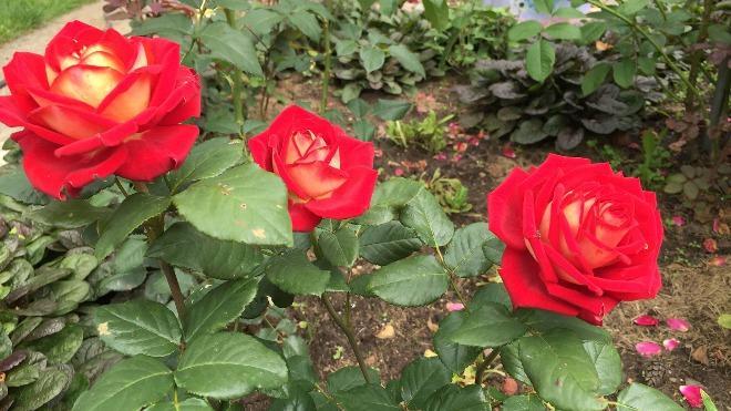 Чайно-гибридные розы красные