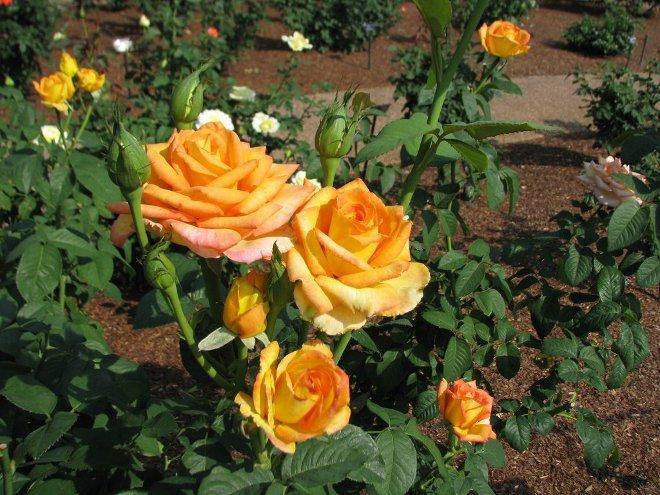 куст чайно-гибридных роз оранжевых