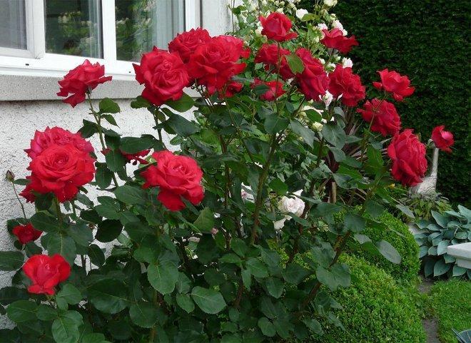 розы Дам де Керр