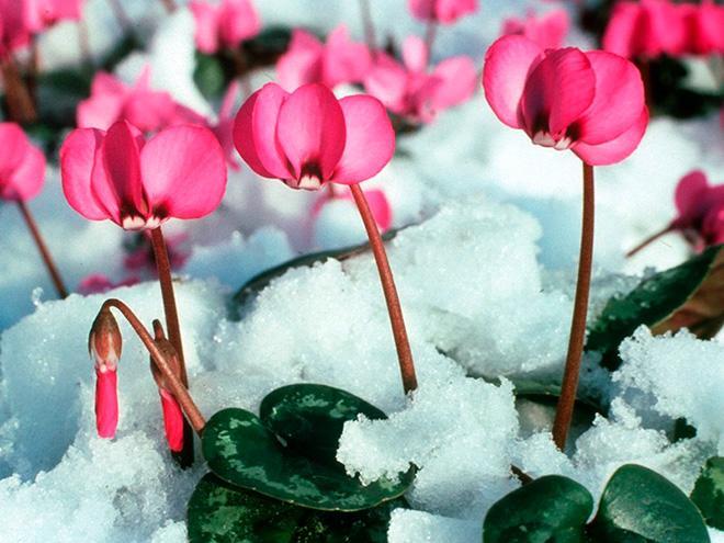 Цикламен в снегу