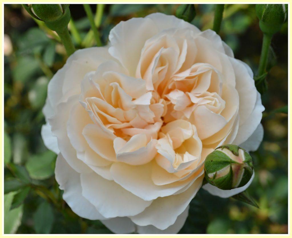Характеристики роз Остина