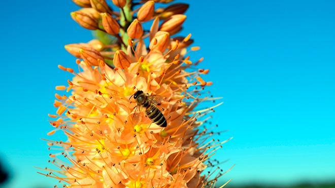 пчела на Эремурусе