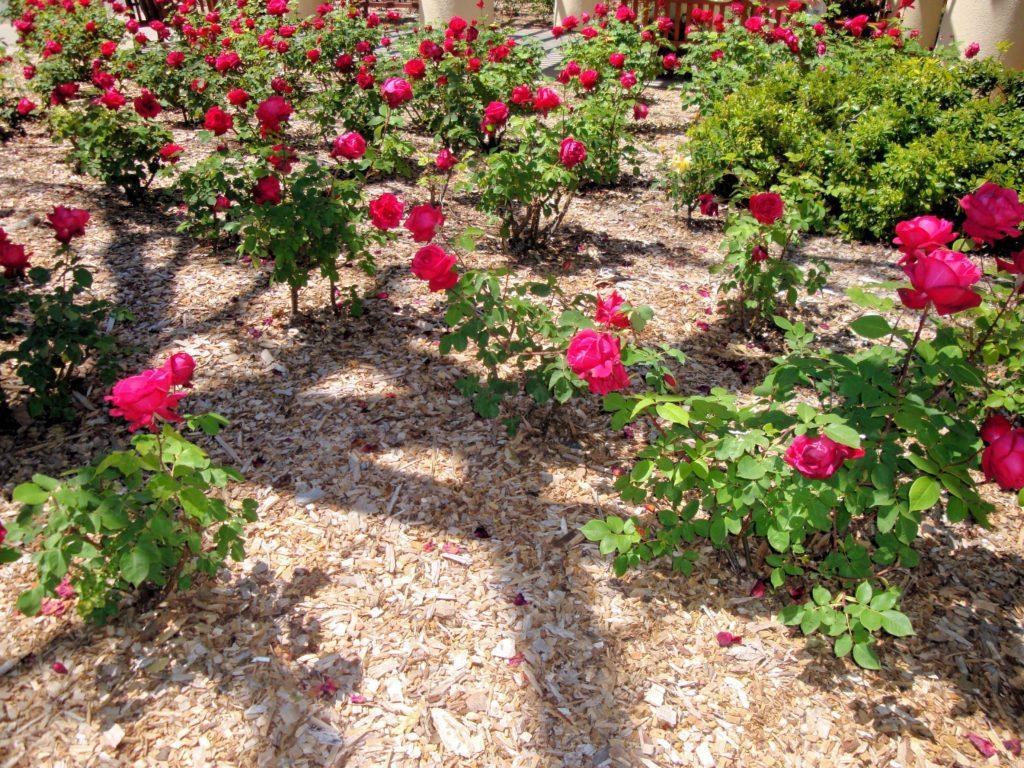 уход за Миниатюрными розами