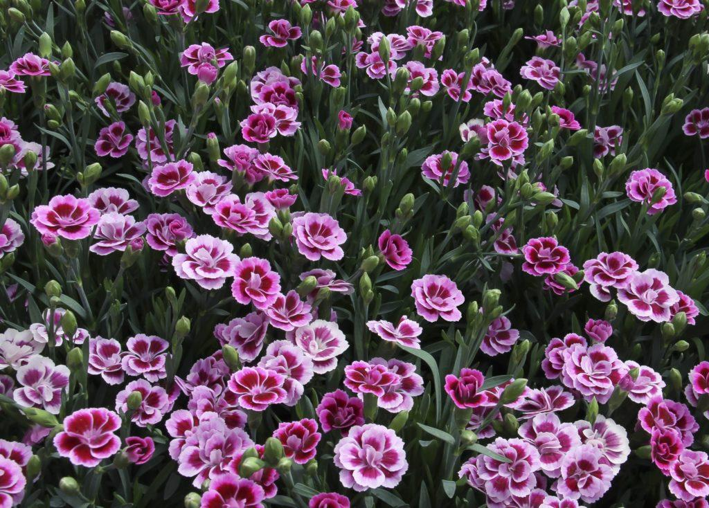 Гвоздики многолетние садовые: особенности выращивания