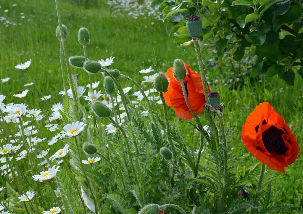 Маки в саду: описание и особенности выращивания