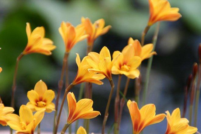 Габрантус оранжевый