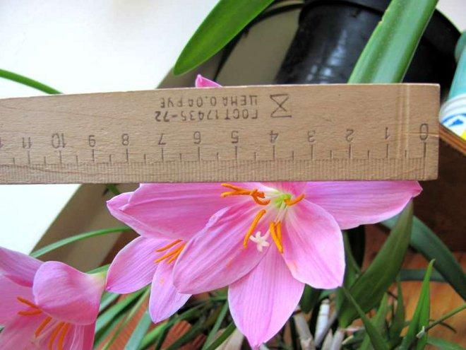 размер цветка габрантуса