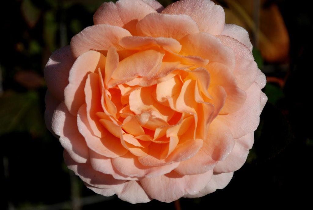 Розы остина сорта и описание