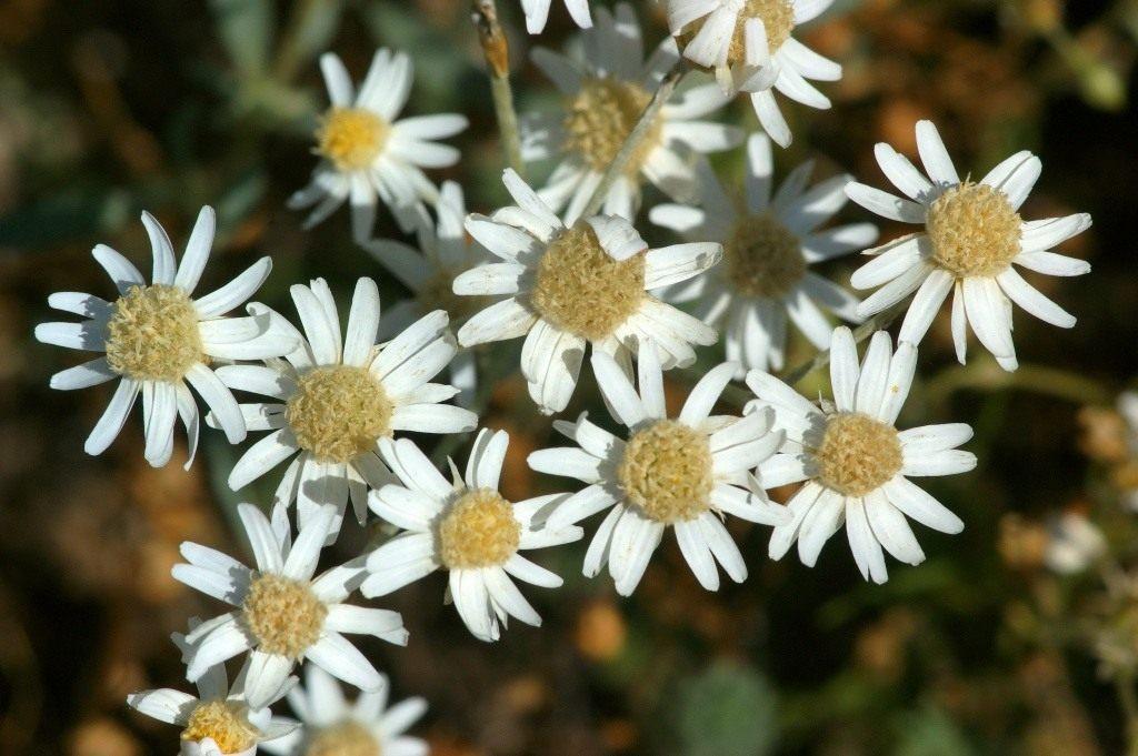 гелиптерум щиткоцветковый