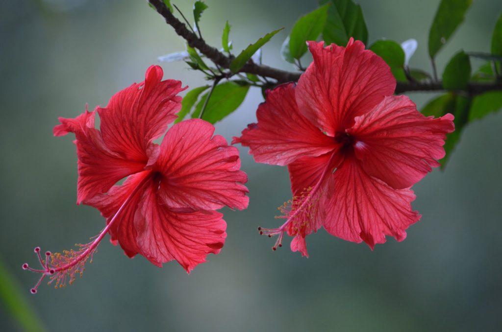 Гибискус: описание, выращивание в доме и в саду