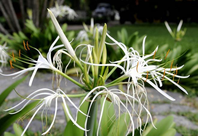 Гименокаллис в саду