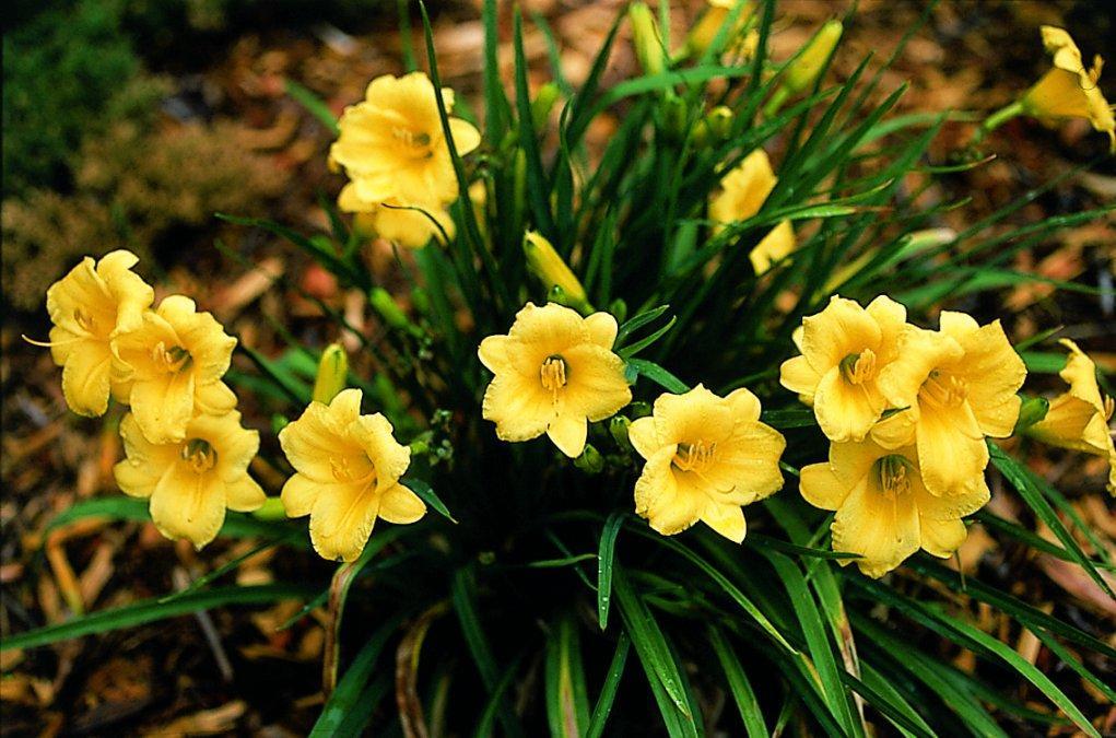 Солнечный лилейник желтый: лучшие сорта, посадка и уход