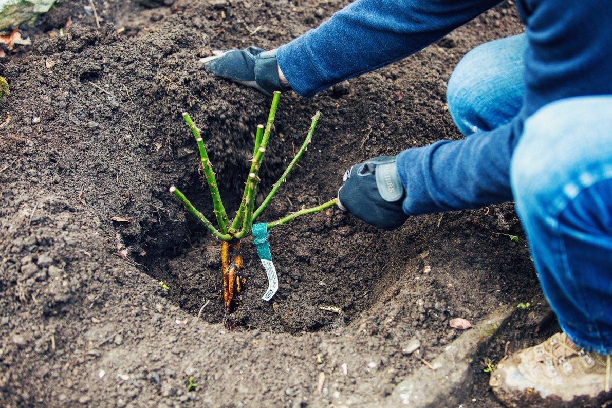 Почва плетистые розы
