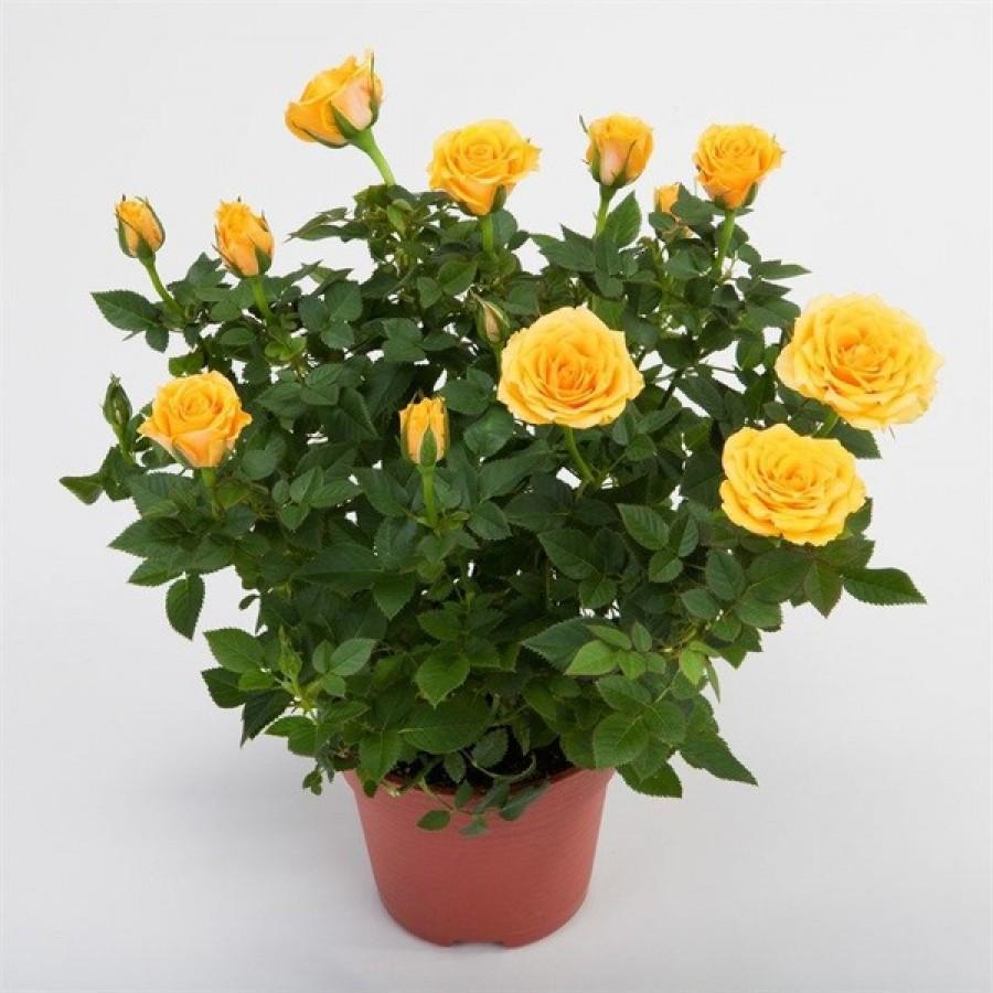 миниатюрные розы в горшке