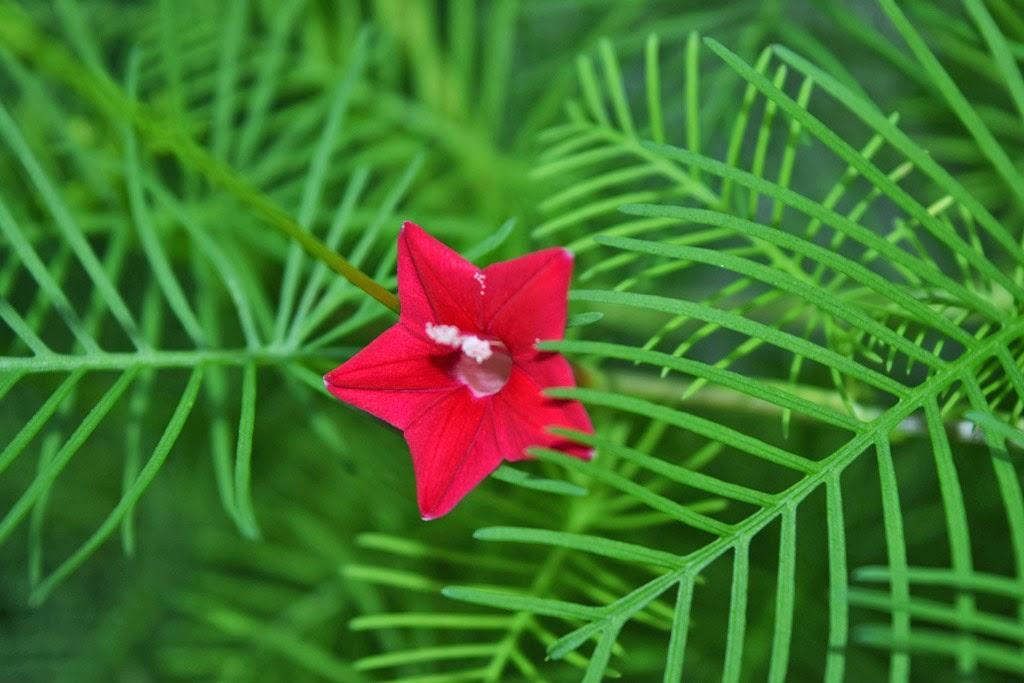 Выращивание ипомеи