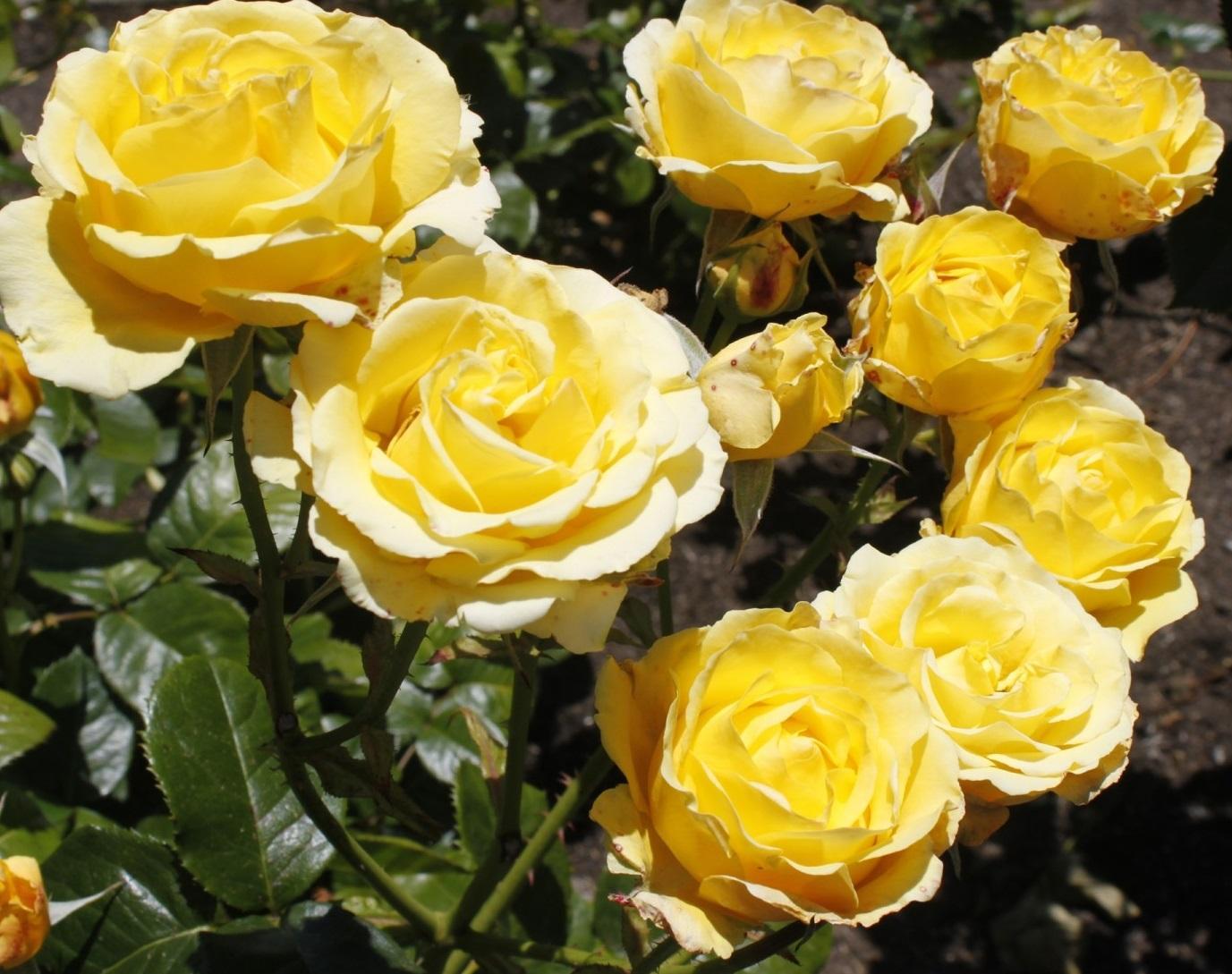Сорт Казино розы