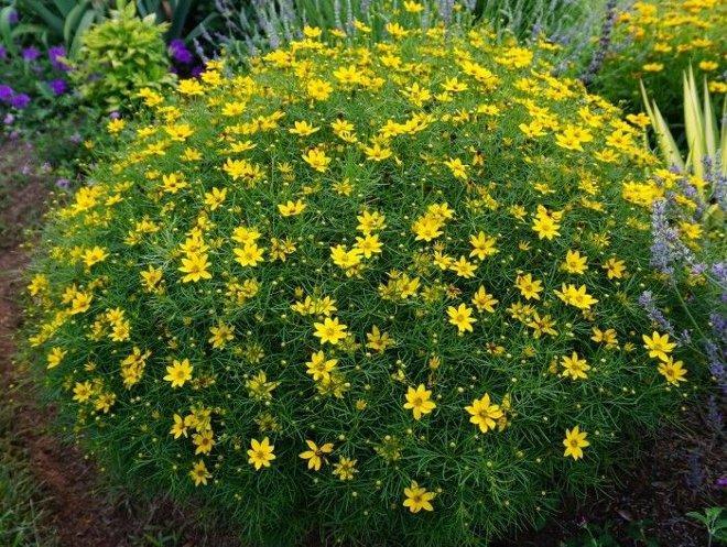 Кореопсис в саду