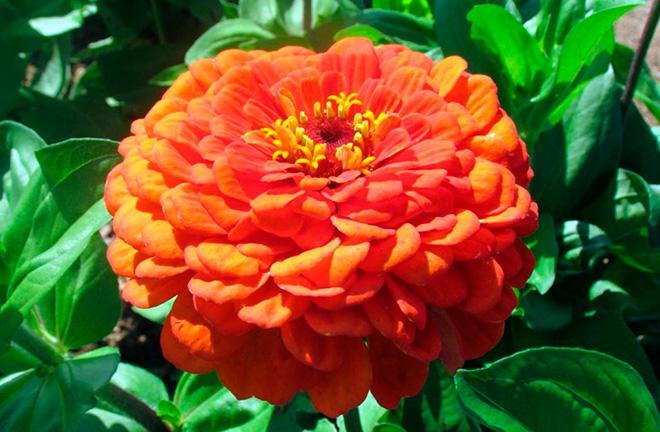 Цинния «Оранжевый король»