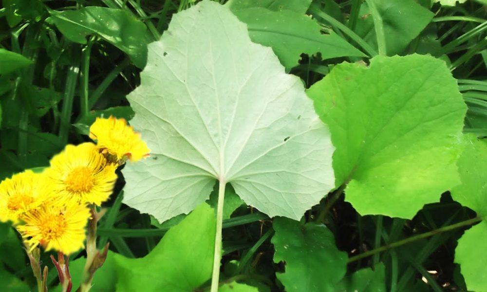 мать-и-мачеха описание растения
