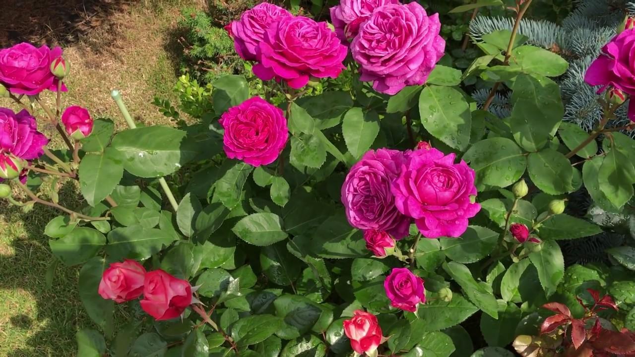 сорта роз тантау
