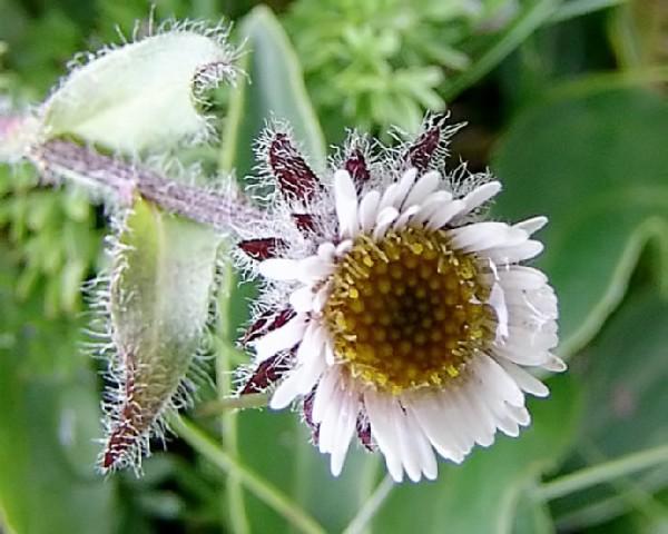 Мелколепестник одноцветковый