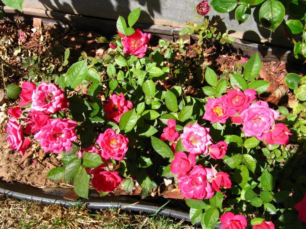 миниатюрные розы Бэби Бантинг