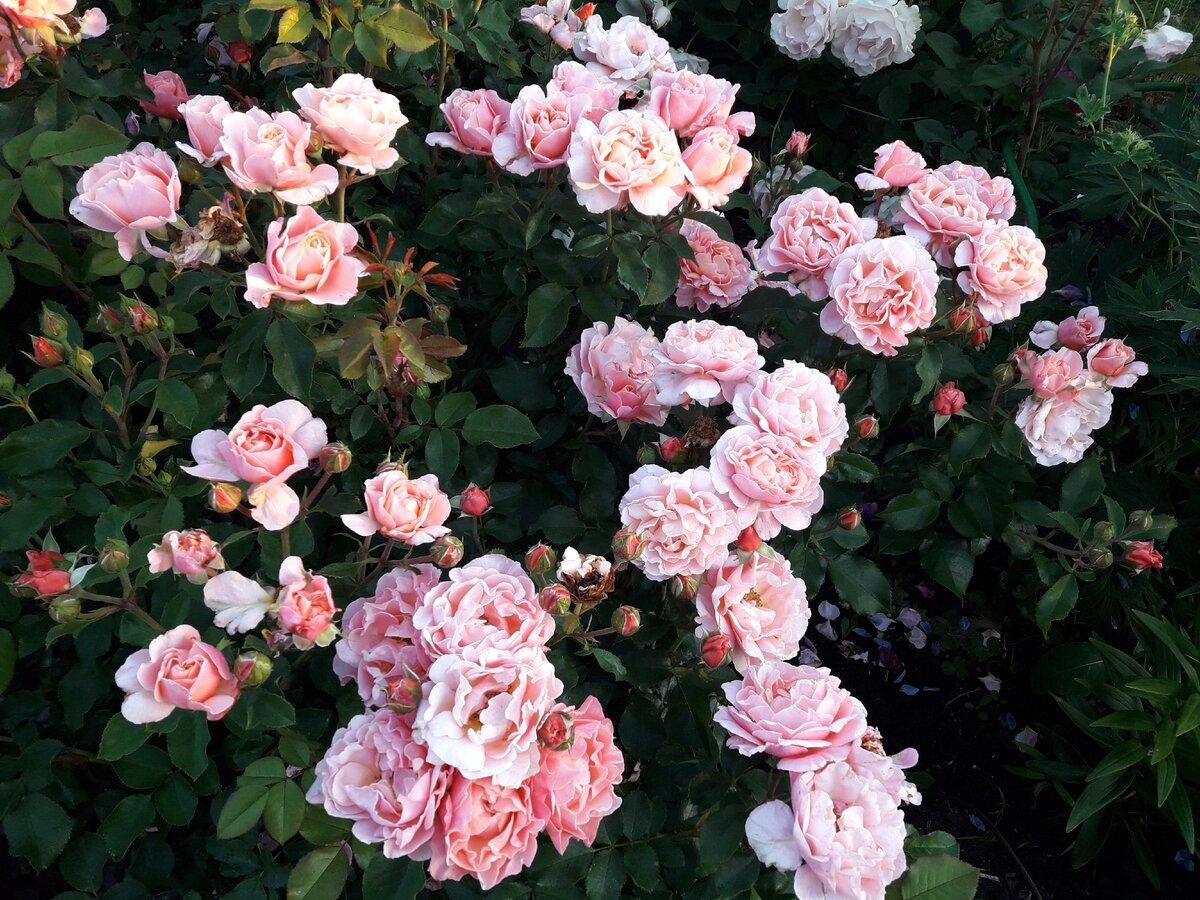 миниатюрные розы Роулети