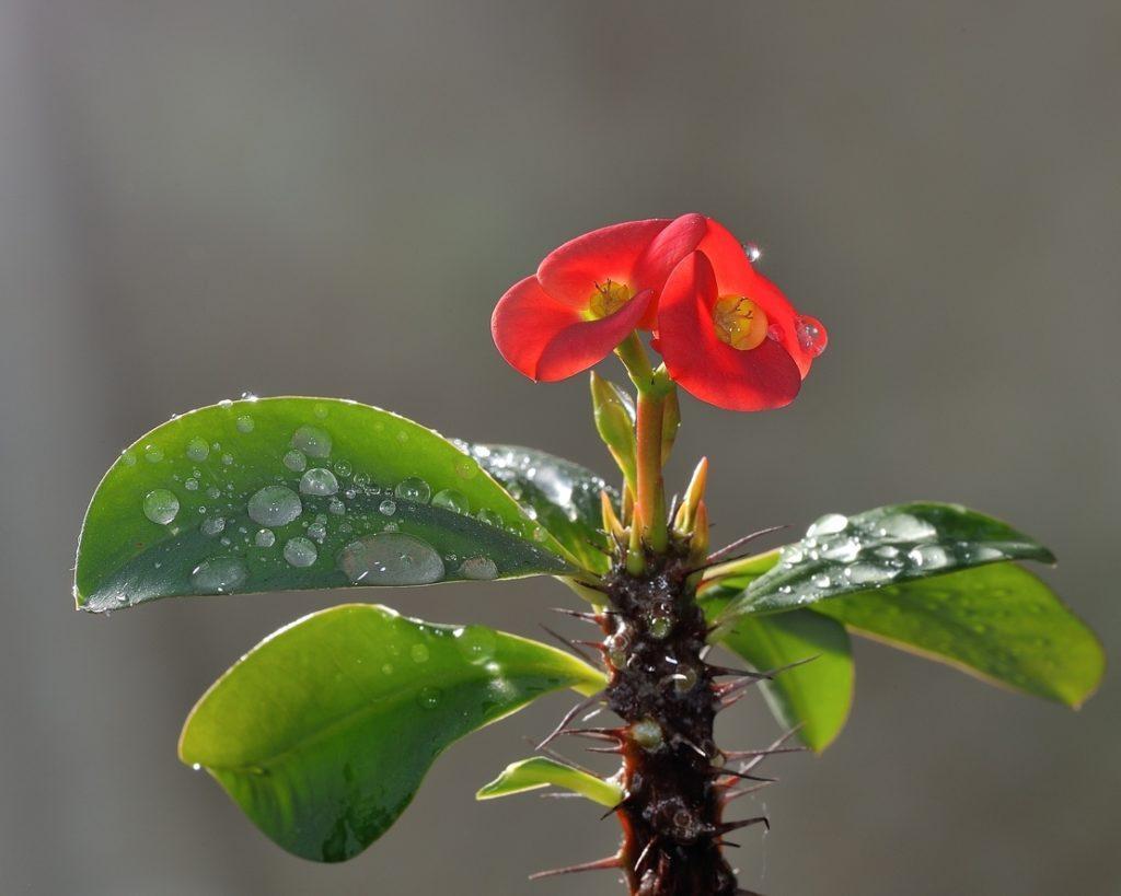 цветущий молочай