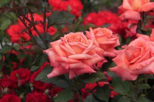 чайно гибридные розы описание
