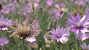 цветы ксерантемум посадка и уход