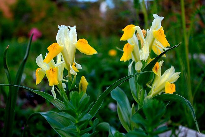 Цветы Юнона