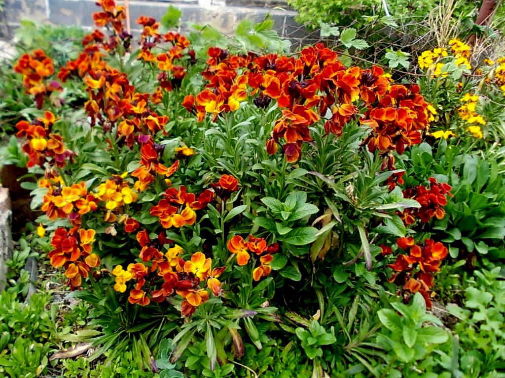 Лакфиолы и их использование в саду