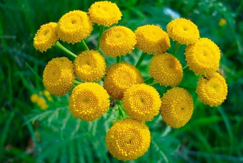 цветки кануфера