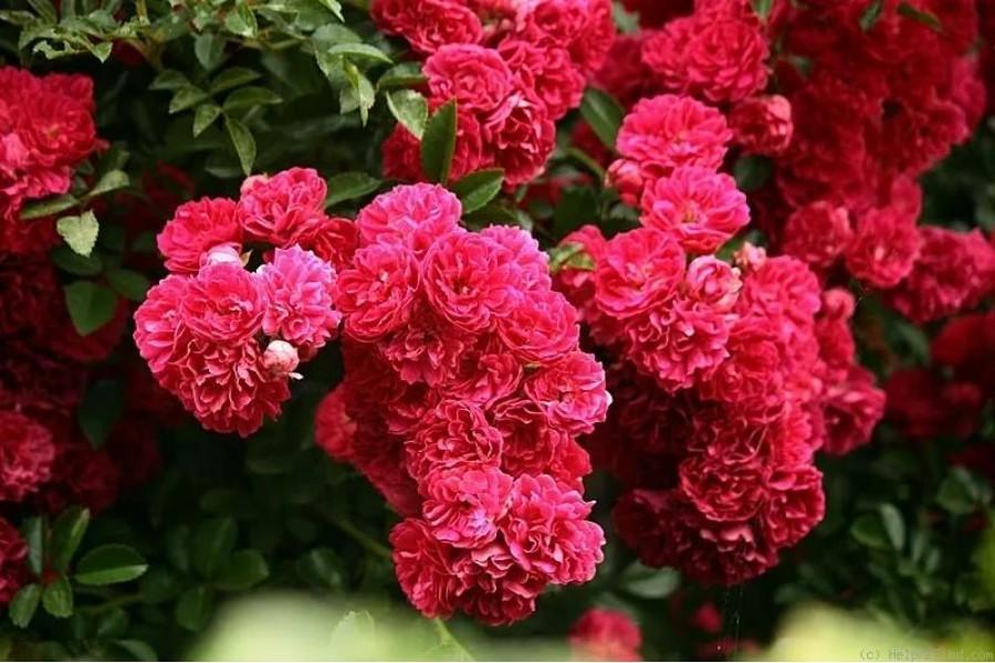 роза Супер Эксцельза