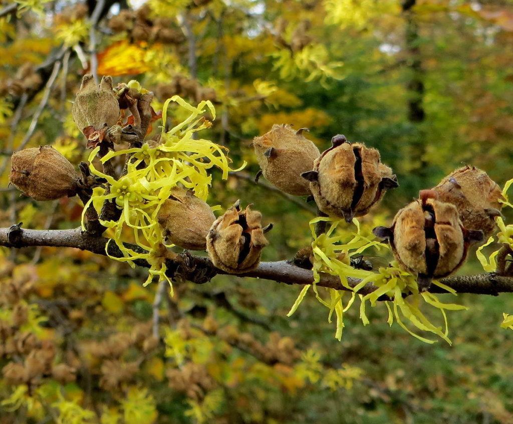 Размножение гамамелиса