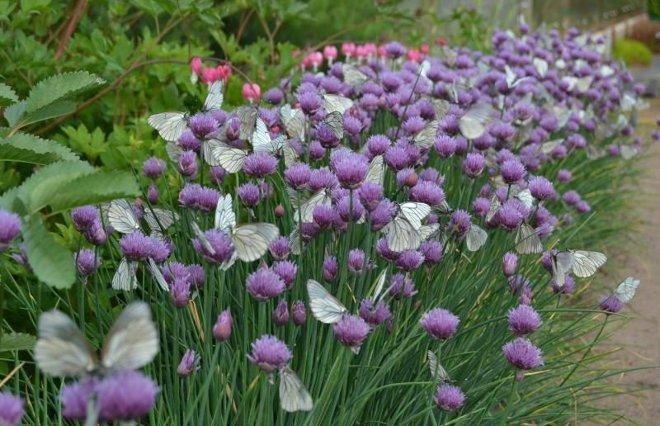 Шнитт-лук в саду
