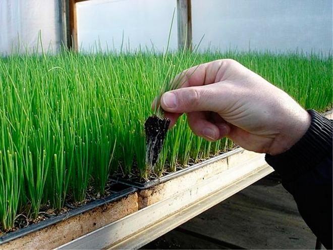 ростки шнитт-лука в лотке