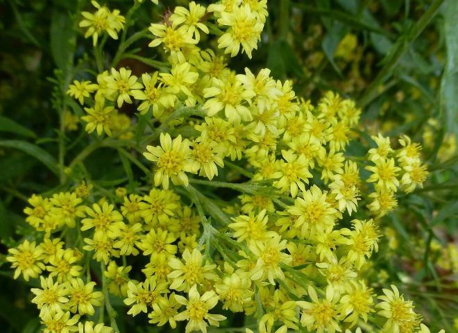 цветы солидастера