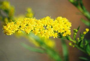 солидаго растение