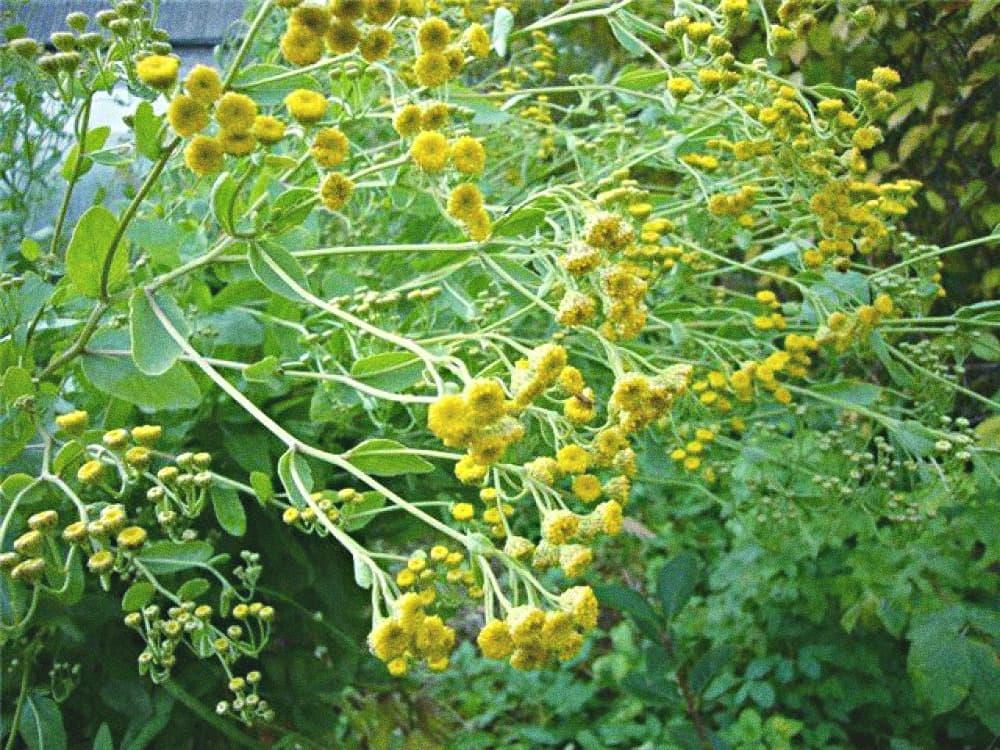цветение Кануфера