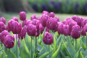 тюльпаны триумф описание