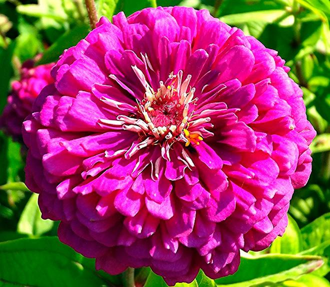 Цинния «Виолет»
